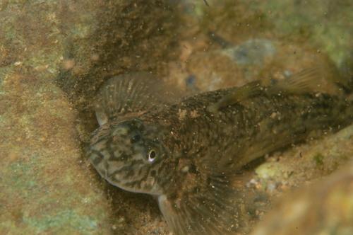 魚図鑑: ツバサハゼ